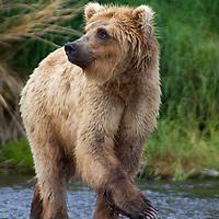 USA, Alaska, Katmai. Blonde Grizzly Bear in river.