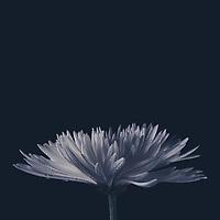 Moody Chrysanthemum
