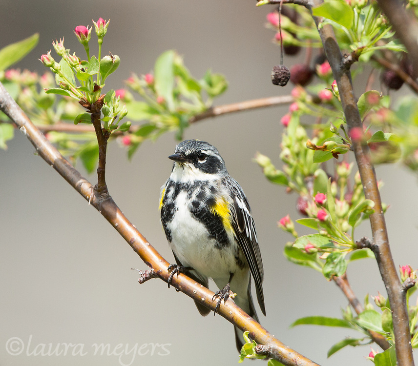 Yellow-rumped Warbler Male on branch with flowers at Green-wood Cemetery.