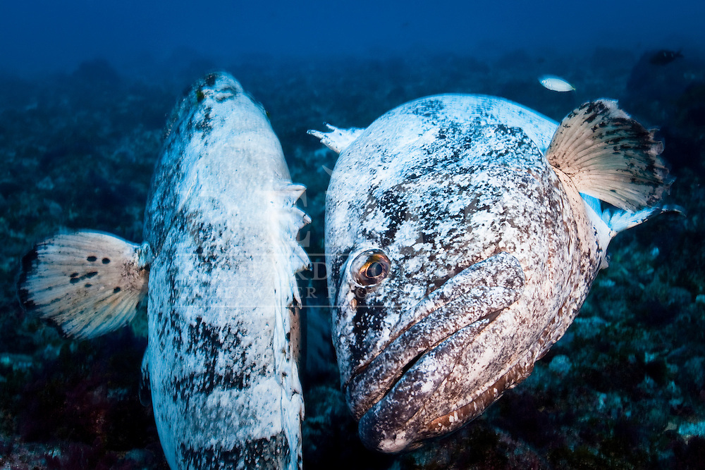 The spotted black grouper is an icon of the Kermadecs, they are relatively common around the archipelago, but this behaviour which appears to be a mating ritual, may never have been witnessed before. The two grouper, approximately 1.2 metres in length, wrapped themselves around each other for more than three minutes, oblivious to the photographer, and changed colour from black to vivid white continuously.<br /> <br /> Shot on assignment for New Zealand Geographic &ldquo;Blue Water Islands&rdquo; Issue 111 September - October 2011<br /> Photograph Richard Robinson &copy; 2011