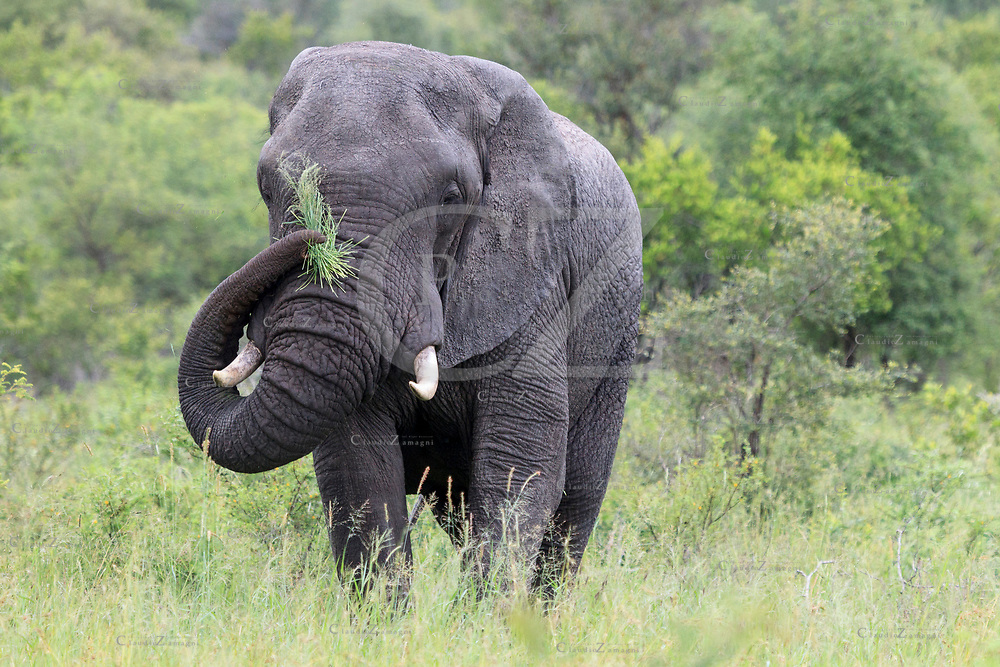 Elephant at Kruger National Park, South Africa, Africa<br />