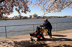 Washington, DC: Cherry Blossom Festival.  Cherry blossoms and Jefferson Memorial. People enjoying the cherry blossoms.   Photo #: washch108 (nef444)..Photo copyright Lee Foster, www.fostertravel.com, 510-549-2202, lee@fostertravel.com