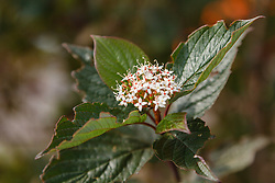 Witte cornoelje, Cornus alba cv