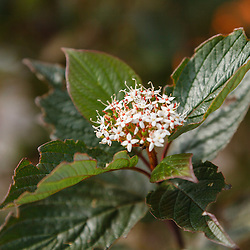 Witte kornoelje, Cornus alba cv
