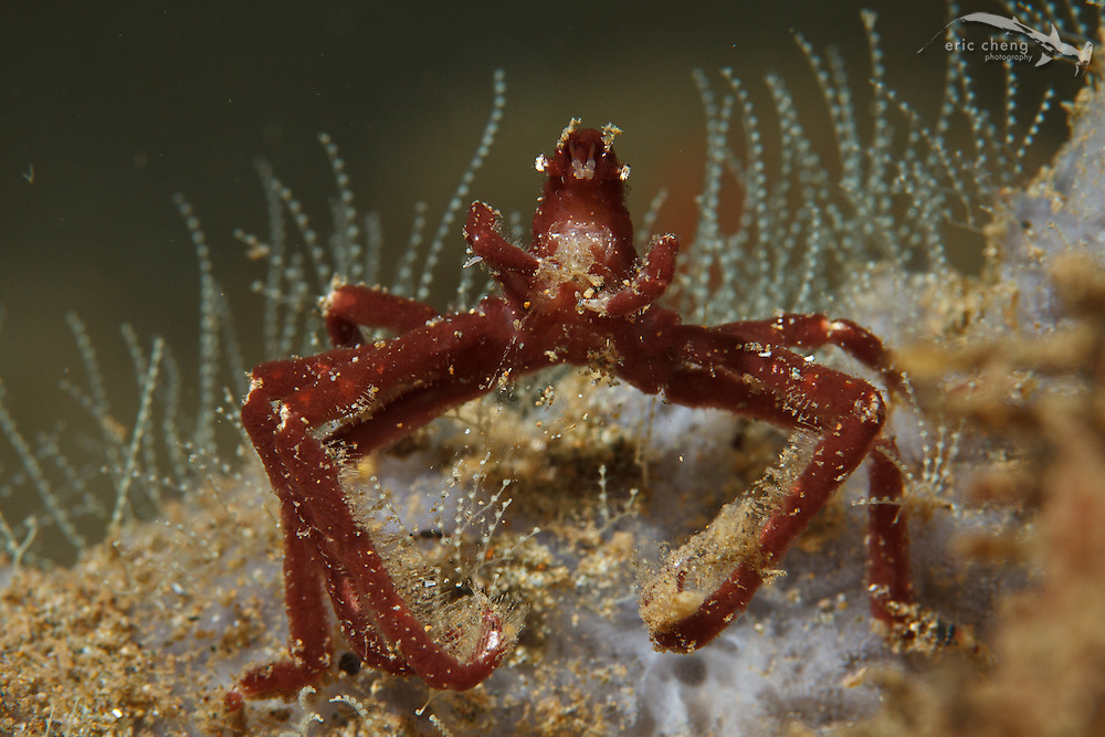 This crab is looks a lot like an orangutan crab (Achaeus japonicus), but it doesn't have hair. Ambon, Maluku, Indonesia.