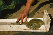 Giant Titicaca Frog being measured<br />