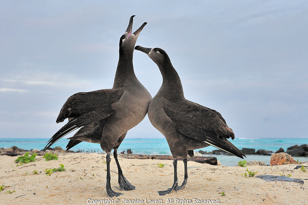 black-footed albatross standing on their tippy toes (webbed feet) with chests lifted and touching, in a courtship bonding dance. albatross mate for life.