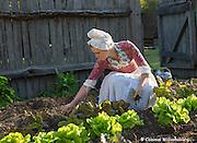 Nicole Justice harvesting Lettuce.