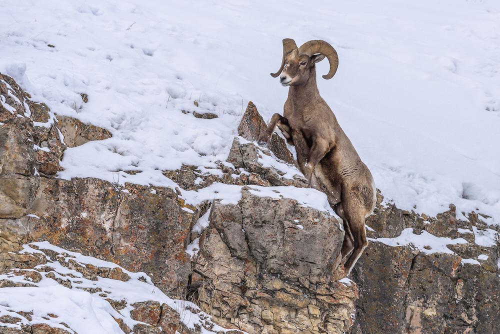 Kletterndes Dickhornschaf im Yellowstone Nationalpark, USA