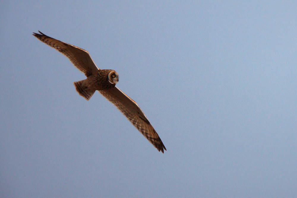 Short-eared Owl in flight, Bagerova Steppe, Kerch Peninsula, Crimea, Ukraine