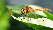 A dragonfly rests on a leaf.