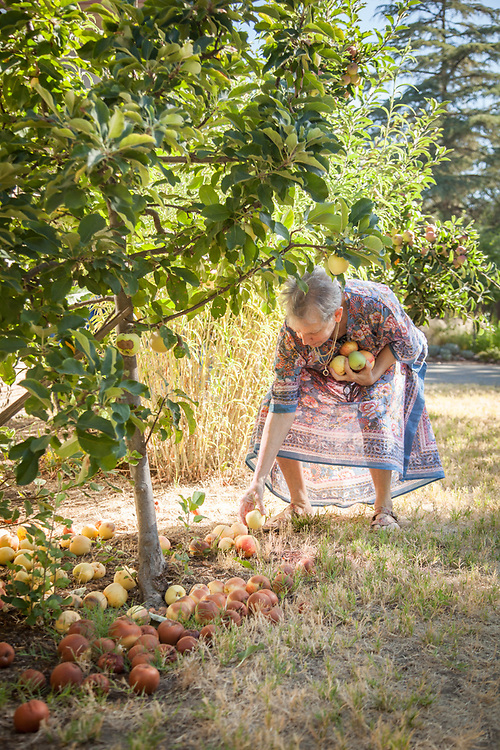 Neighbor Martha Casselman gathers apples in the front of her home on a warm morning in Calistoga