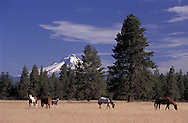 Horses and Mount Hood, Warm Springs Indian Reservation, Oregon, USA