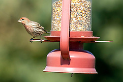 House Finch (Haemorhous Mexicanus)