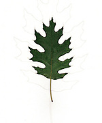 Digitally enhanced image of a single Oak leaf on white background