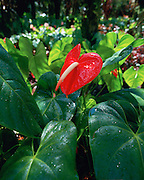 Anthurium, Island of Hawaii, Hawaii, USA<br />