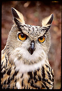 European eagle owl at the Raptor Rehabilitation and Propagation Projct @ Tyson Rsrch Cntr;Eureka Missouri