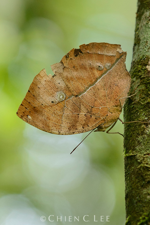 Perched motionless with its wings closed, the Leaf Butterfly (Kallima limborgii) uses its superb camouflage to remain invisible.