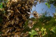 Honey bee (Apis mellifera) swarm. Swarming. When the size of the colony reaches a certain stage, usually in Spring or Summer when the nectar flow is at its greatest, the queen and a great many workers, leave the hive in a swarm. The swarm comes to rest in a great cluster on a tree branch or similar situation. Scout bees, who may have left the hive some days before, seek out a suitable situation for a new nest and return to the swarm and communicate this information, whereupon the whole swarm moves off to the new site. Kiel, Germany | Dieser Schwarm von Honigbienen (Apis mellifera) ist vor wenigen Minuten aus seinem vertrauten Bienenstock ausgeflogen: Das Bienenvolk will sich teilen. Dafür fliegt die alte Königin aus, etwa 20 000 weitere Bienen folgen ihr. Schließlich sammelt sich der Schwarm in einem nahegelegen Strauch.  Kiel, Deutschland