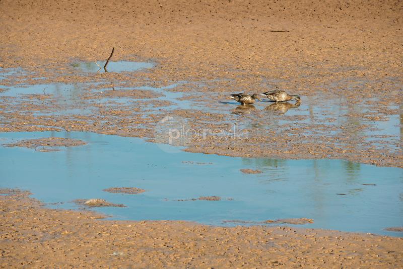 Sequía y patos en el  Pantano de Almansa. Albacete ©ANTONIO REAL HURTADO / PILAR REVILLA