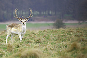 Deer in Attingham Park, Shropshire