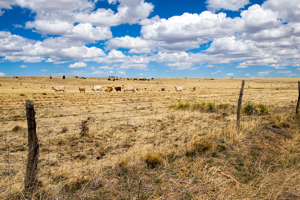 A small herd of cattle graze on the sparse and dry grass of the high desert plains of New Mexico as fluffy white clouds pass overhead.