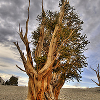 Bristlecone pine (Pinus longaeva), in the Patriarch Grove of the Bristlecone Pine forest. White Mountains
