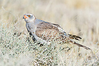 Immature Pale Chanting Goshawk, Kgalagadi Tranfrontier Park, Northern Cape, South Africa