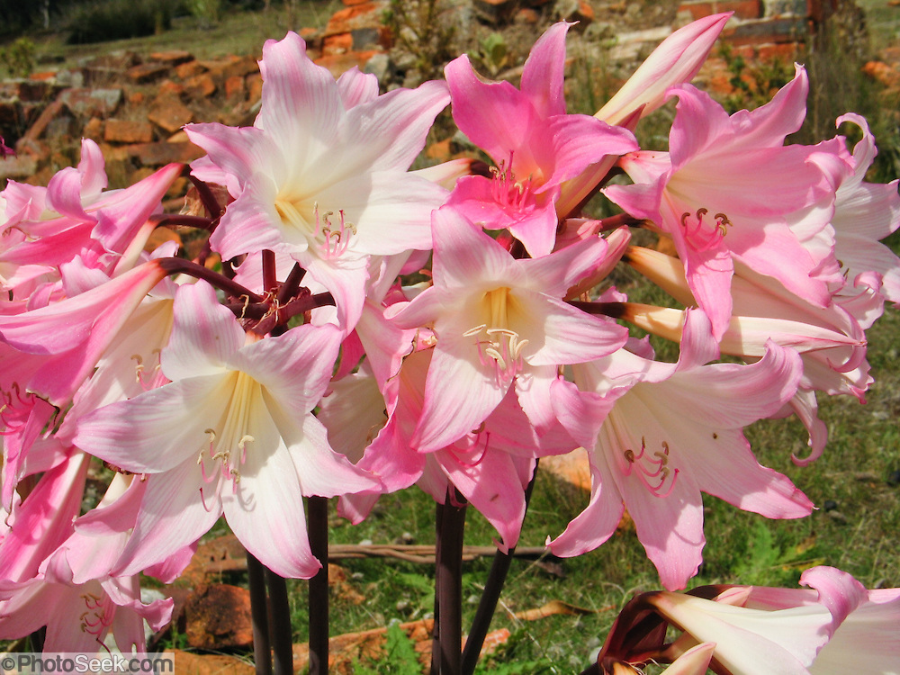 Amaryllis belladonna flowers (native to South Africa) bloom on Tasmania, Australia. The plant is commonly called a Naked Lady because blooms appear after the leaves have died down. The flower is usually white with crimson veins, but pink or purple also occur naturally. Each bulb grows one or two leafless stems 30–60 cm tall bearing a cluster of 2 to 12 funnel-shaped flowers. Each flower is 6–10 cm diameter with six tepals (three outer sepals and three inner petals with similar appearance). Amaryllis belladonna has several strap-shaped, green leaves, 30–50 cm long and 2–3 cm broad, arranged in two rows. The leaves grow in autumn or early spring in warm climates depending on the onset of rain, and die down by late spring. The bulb remains dormant until late summer flowering. The plant is neither frost-tolerant nor tropical-tolerant, since it requires a dry resting period between leaf growth and flower spike production.