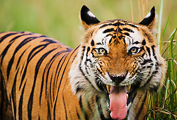 A close-up portrait of the famous dominant male Bengal tiger (Panthera tigris tigris) named B2 exhibiting flehmen, a behavior used to draw a scent to a sensitive organ in the roof of the mouth in order to receive chemical information about another tiger's scent mark,  Bandhavgarh,Madhya Pradesh,India