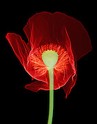 X-ray of Opium poppy (Papaver somniferum) flower. This poppy is the source of opium, a narcotic resin that contains the alkaloids morphine and codeine. These are used by the pharmaceutical industry as painkillers (analgesics). Opium can be refined to yield the illegal drug heroin.