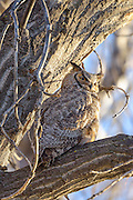 Male Great Horned Owl taking a break from watching owlets, Twin Lakes, Boulder County, Colorado - 2016