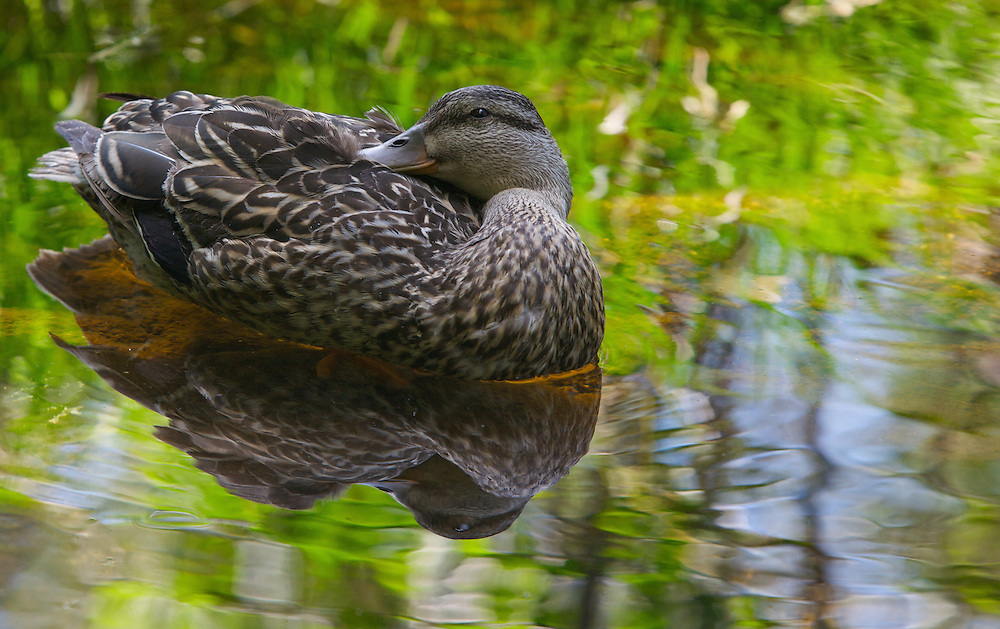 A duck takes a midmorning nap, afloat in the Penobscot River, near Baxter State Park, Maine.