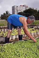 Thinning out plants on La Sazon organic garden in Havana; Cuba,