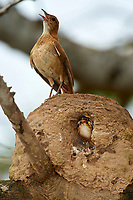 Rufous Hornero (Furnarius rufus) parent standing on nest with chicks inside, The Pantanal, Mato Grosso, Brazil