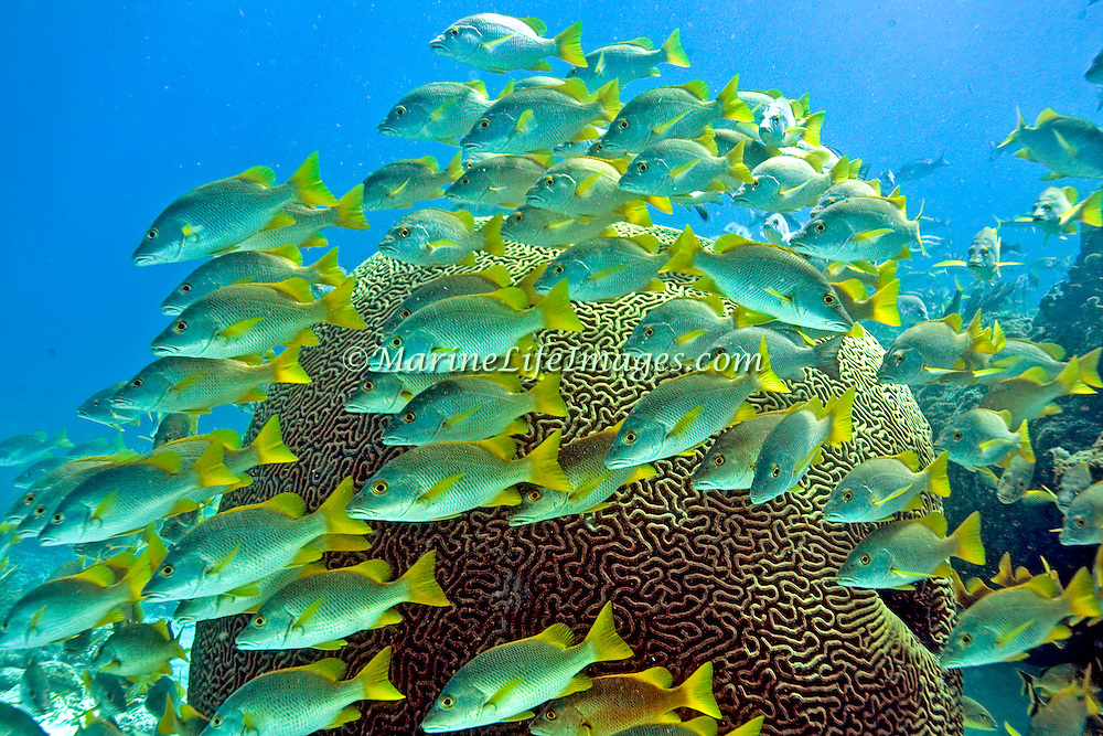 Schoolmaster inhabit reefs in Tropical West Atlantic; picture taken Key Largo, FL.
