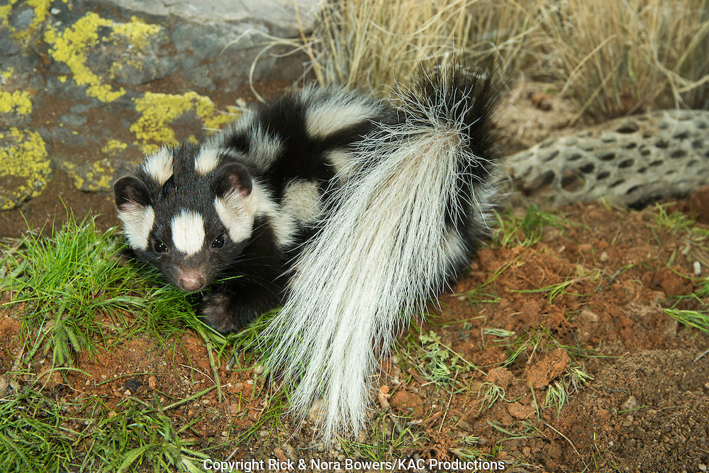 Western Spotted Skunk <br /> Spilogale gracilis<br /> Tucson, Pima County, Arizona, United States<br /> 15 February      Adult    Mephitidae