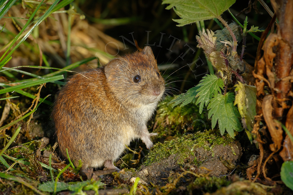 Bank Vole (Clethrionomys glareolus) adult, alert in undergrowth, South Norfolk, UK. July.