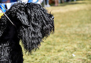 Black Russian Terrier