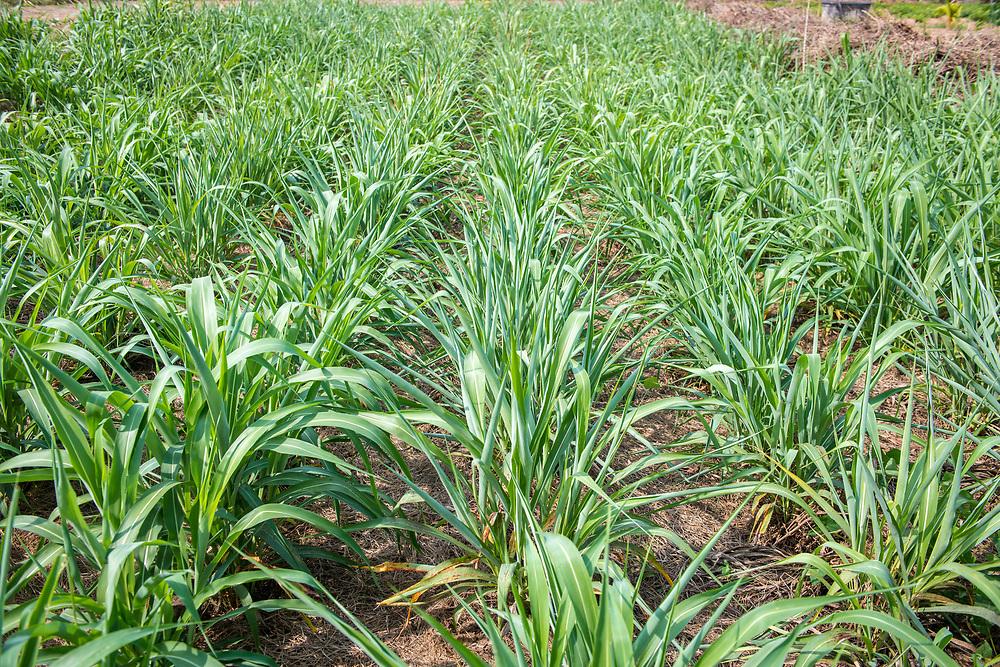 Full frame of crops in Ganta, Liberia