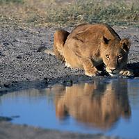 Botswana, Chobe National Park, Lioness (Panthera leo) drinks from water hole in Savuti Marsh at sunrise
