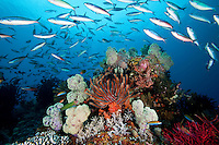 Soft Corals and Fusilers.Shot in West Papua Province, Indonesia
