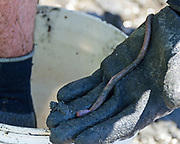 Bloodworm (prob. Glycera dibranchiata), Frazer Point, Acadia National Park, Maine