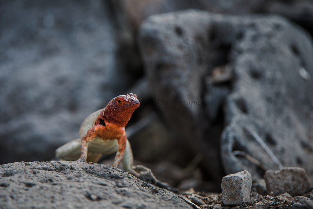 Lava Lizard female (Microlophus delanonis)<br /> Española Island,<br /> GALAPAGOS,  Ecuador, South America<br /> ENDEMIC TO GALAPAGOS