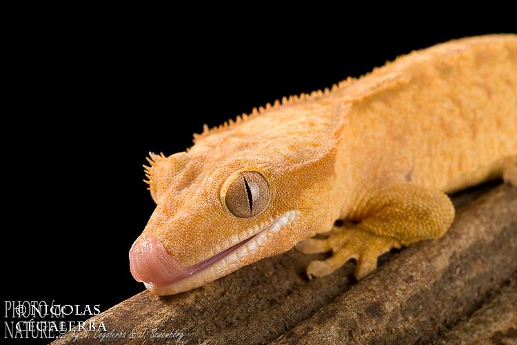 Gecko à cils, Gecko à crête, Crested geckos, Rhacodactylus ciliatus