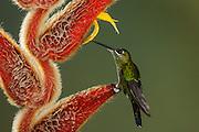 Green-crowned Brilliant - Heliodoxa jacula