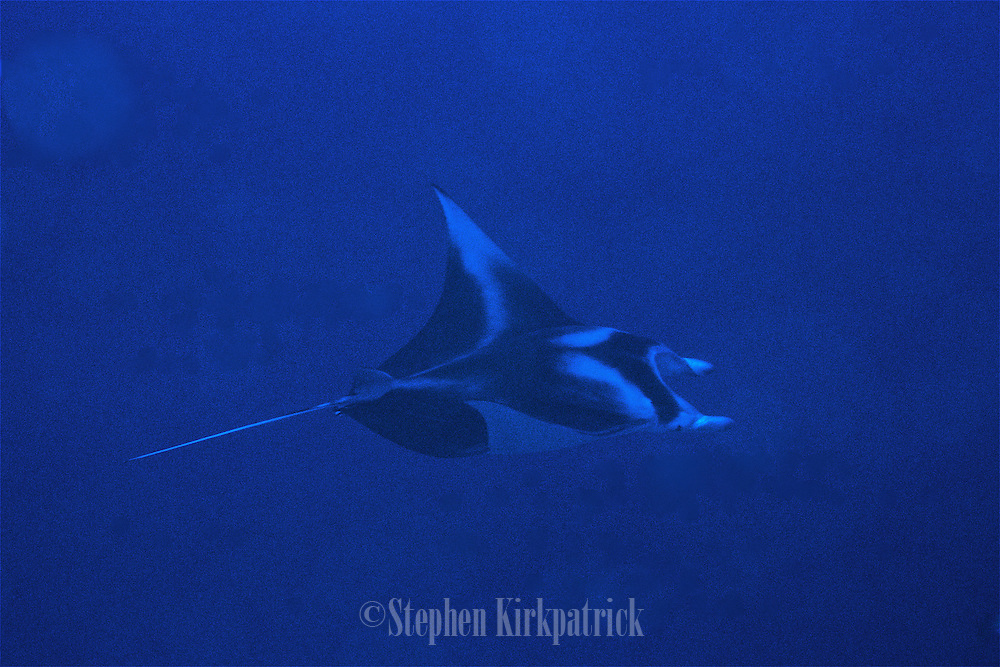Devil Ray glides by in the deep blue near Molokini, Maui.