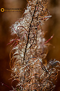 Fireweed gone to seed in autumn in Glacier National Park, Montana, USA