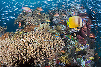 A VERY busy Coral Head, with Anthias, Sweepers, and Butterflyfish<br /> <br /> Shot in Indonesia