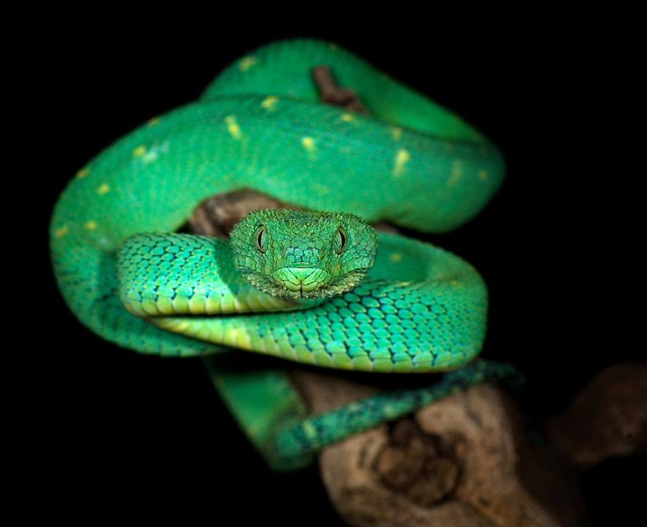 Green Bush Viper (Atheris chlorechis)